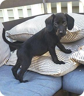 Linden Nj Golden Retriever Beagle Mix Meet Casey Novak A