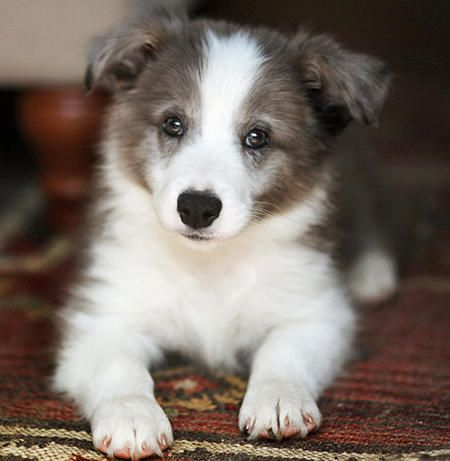 Border Collie Puppy Related To Mine Brother From Another Mother