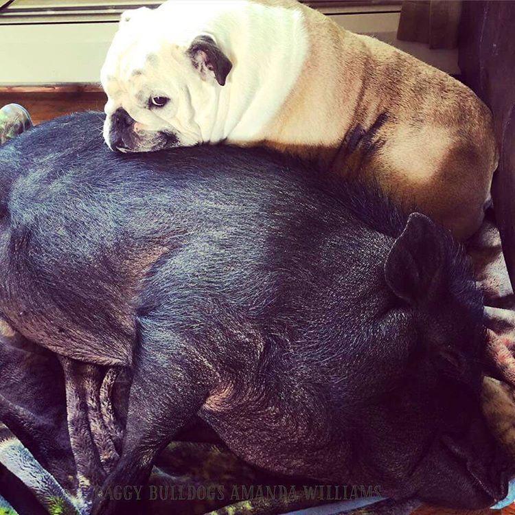 Pig And Bulldog Best Friends Bulldog English Bulldog Care