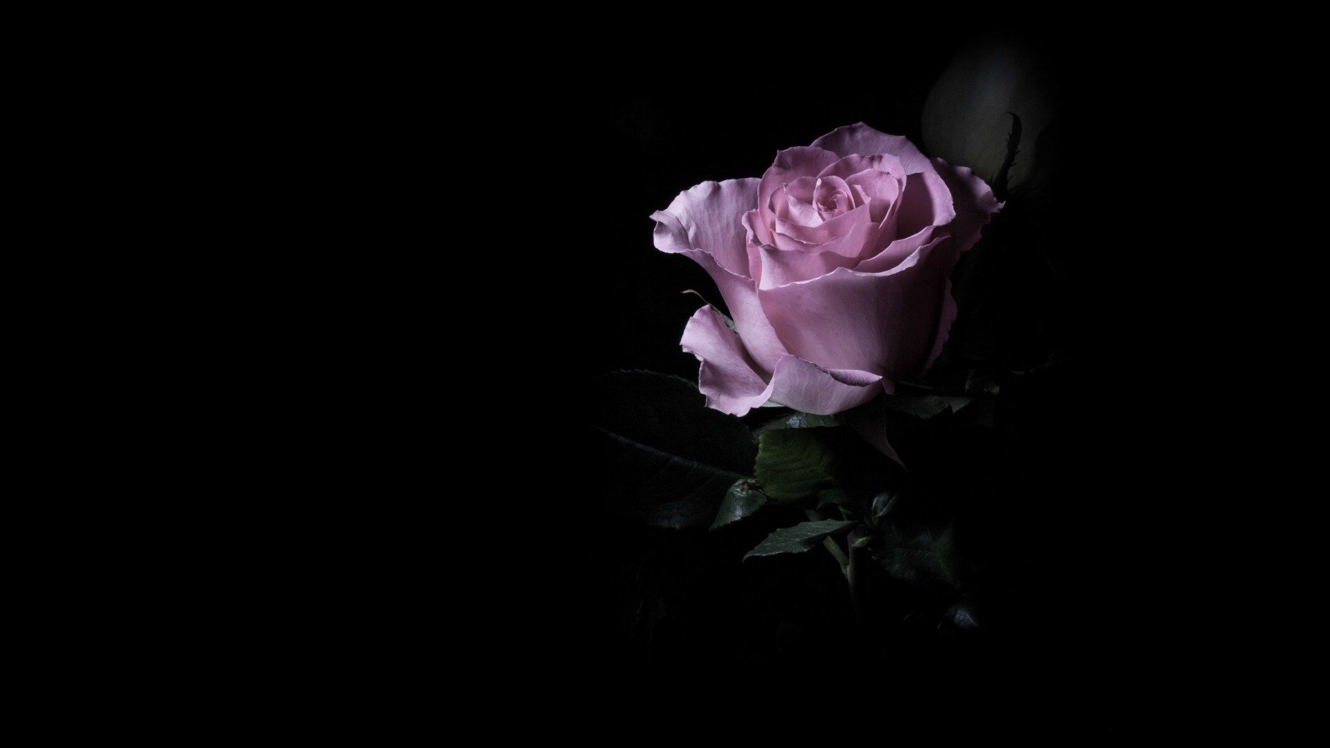 Dark Purple Roses Dark Purple Rose 01 By Nexu4 With Images