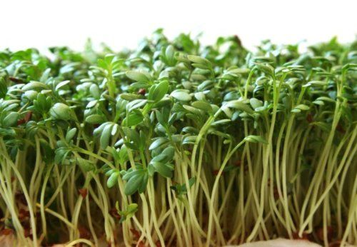 Garden Cress Seeds Peppergrass By Stonysoil Seed Company Herb