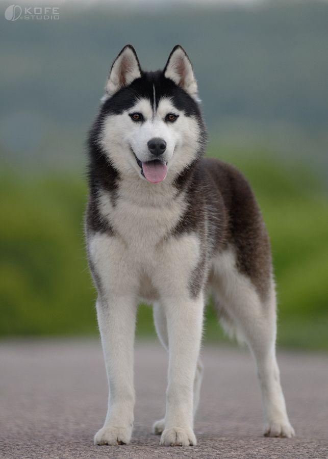 500px Photo Siberian Husky Dog By Tanya Kozlovsky Tier Aktivitaten Sibirische Huskies Hunderassen