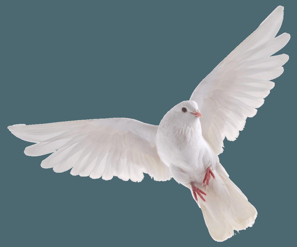Birds Steemit Dove Pictures Birds In Flight Dove Images