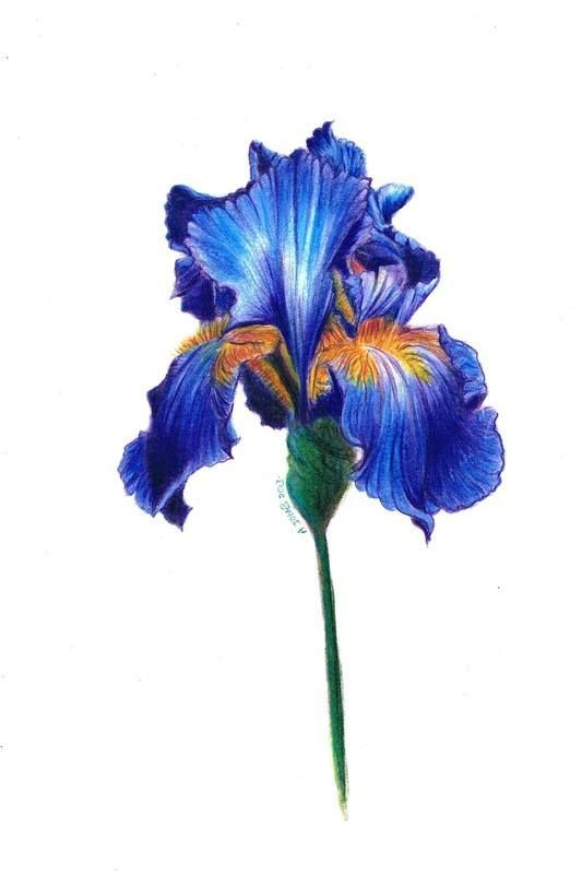 Painting Of An Iris Flower Blue Iris Flowers Flower Drawing Flower Painting