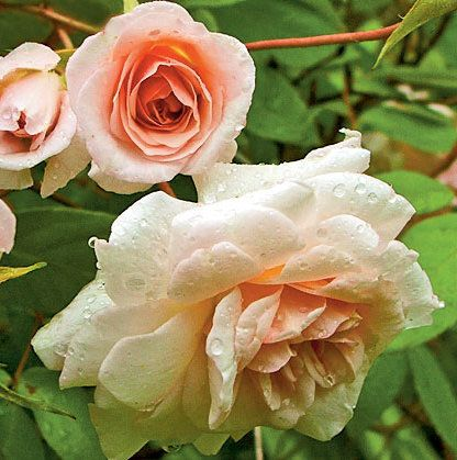 Cecile Brunner Climbing Rose - What to Grow on the Coast - Coastal Living