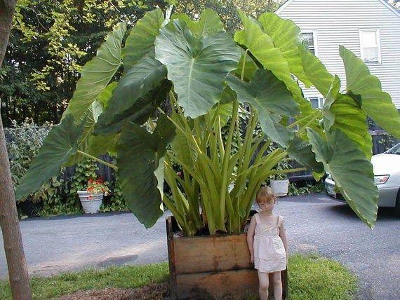80 seeds Huge Foliage seeds, Giant Elephant Ear Plant, Fresh Colocasia Gigantea , Alocasia Macrorrhiza,Elephant Ear Taro Vegetable Seeds