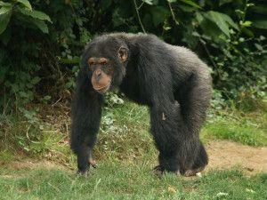 Rescue Chimpanzee Held Captive In Tiny Cage Chimpanzee Animals Chimp