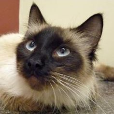 Balinese Cat Google Search Balinese Cat Cute Cats Cats And Kittens