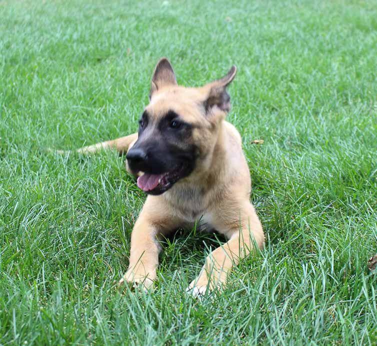 Akita & German Shepherd Mix for sale near Fort Wayne, IN