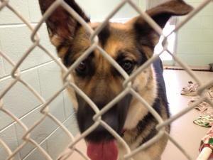 Adopt Bella On German Shepherd Dogs Dogs Shepherd Dog
