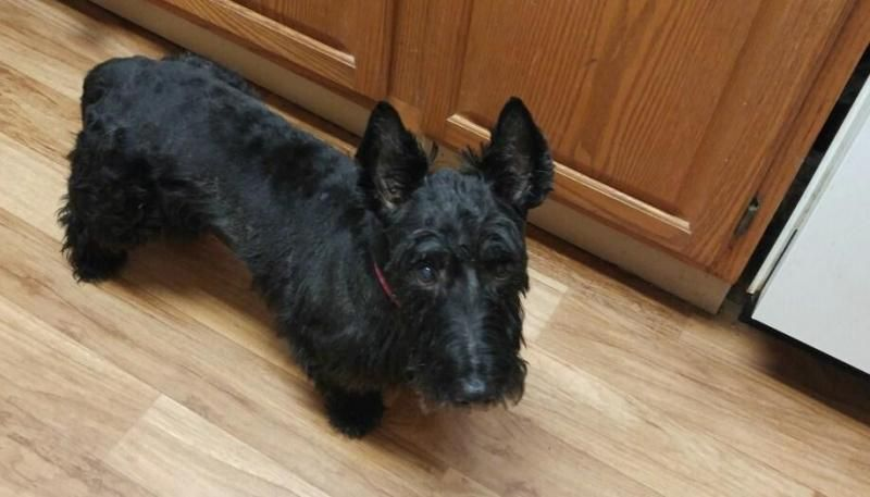 Meet Riley, an adoptable Scottish Terrier Scottie looking for a forever home. If you're looking for a new pet to adopt or want information on how to get involved with adoptable pets, Petfinder.com is a great resource.