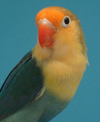 Agapornis Fischeri Yf Turquoise Prachtige Vogels Vogels
