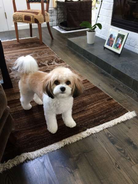 Ballyhara Cavachons Photo Cavachon Puppies Dog Groomers Dog Grooming Styles
