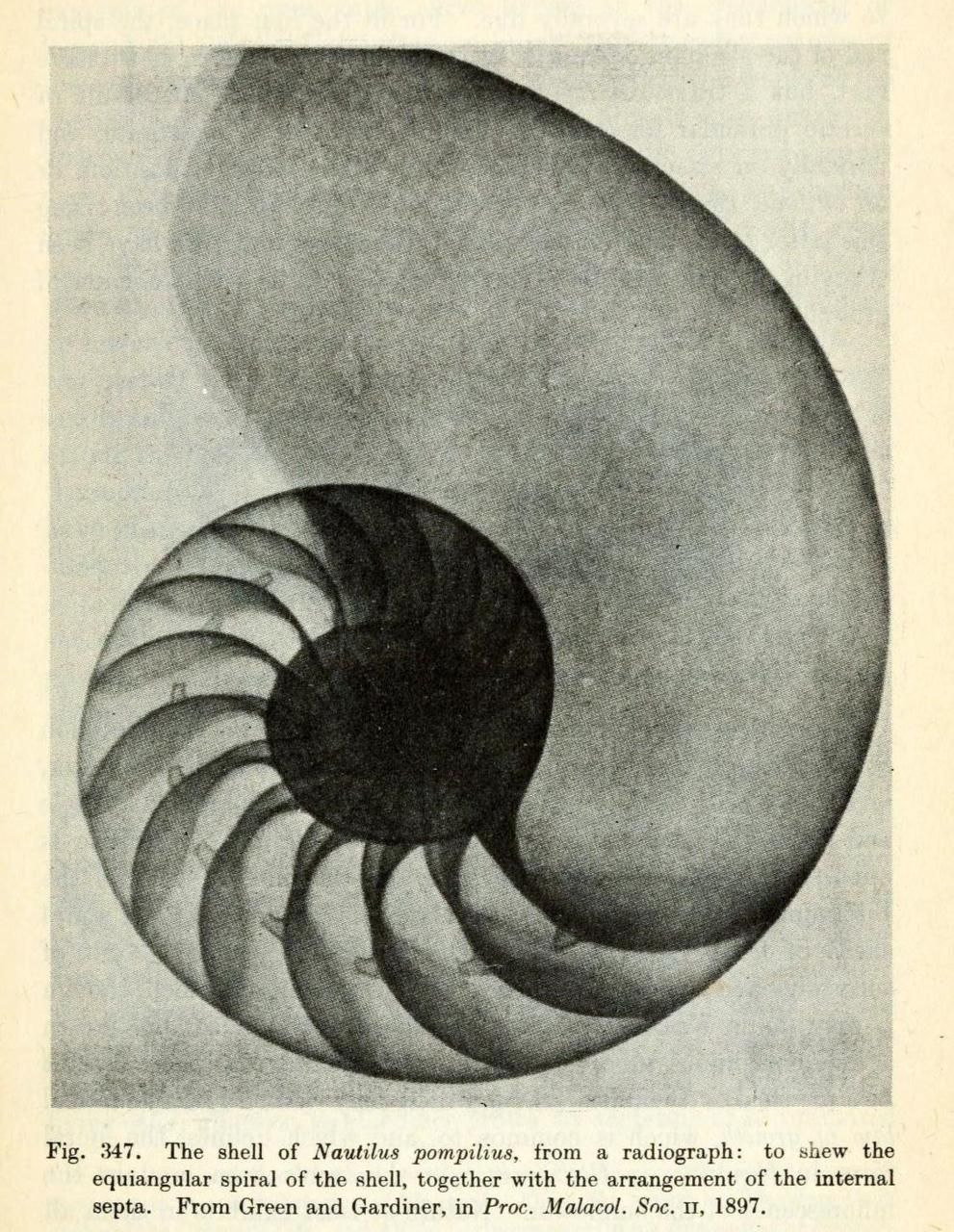 Radiograph of Nautilus Shell  Though it's not a perfect golden spiral, the chambered nautilus shells.D'Arcy Wentworth Thompson, 1945