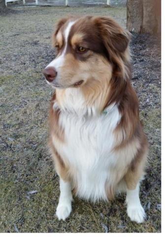 Young Male Dog Australian Shepherd Affenpinscher Wendell
