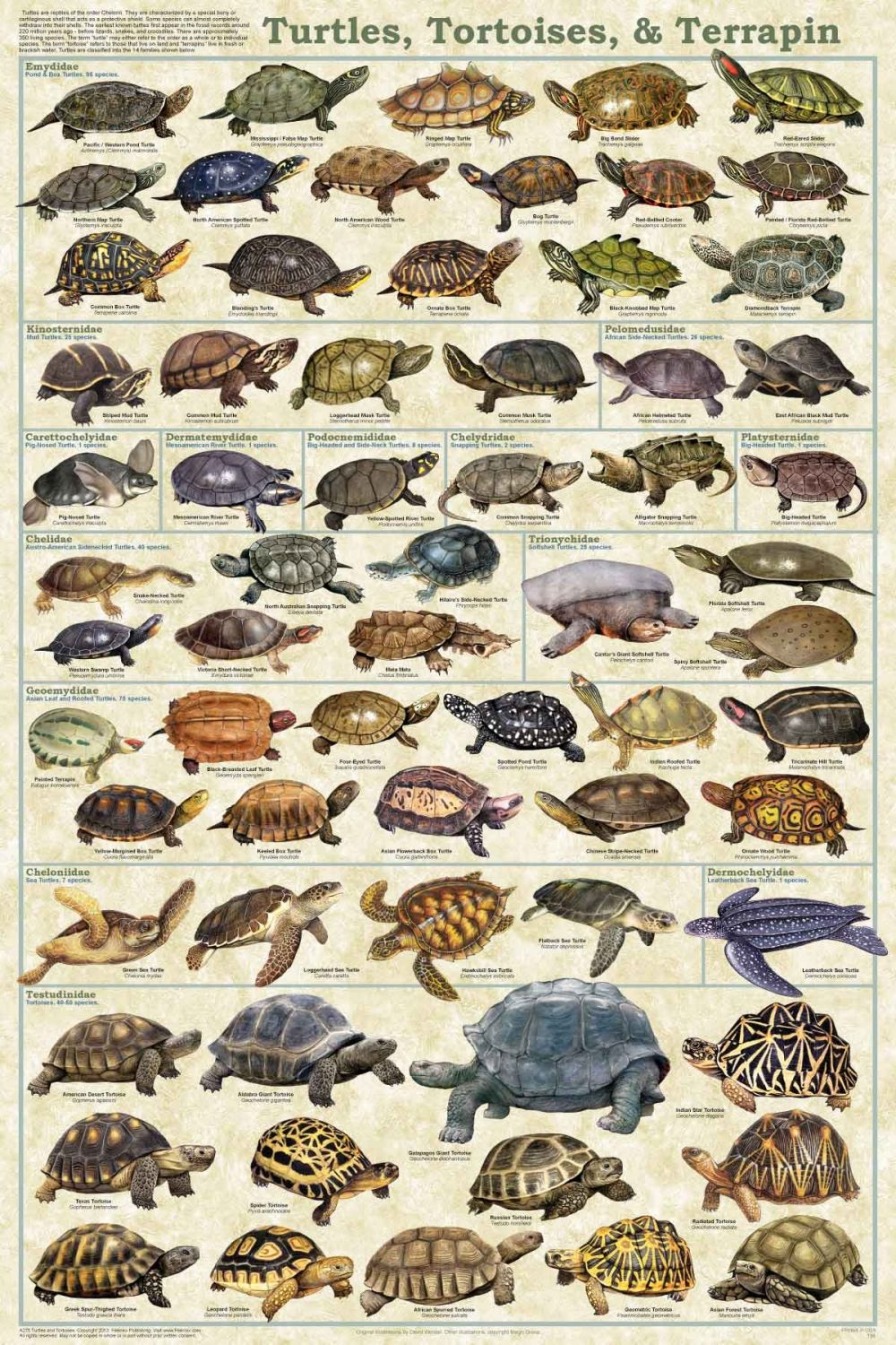 Turtles, Tortoises, and Terrapin Poster - Reptile Poster ...