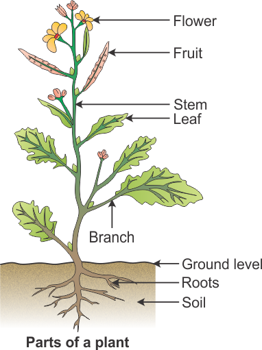 draw a diagram to show the parts of a plant and label them