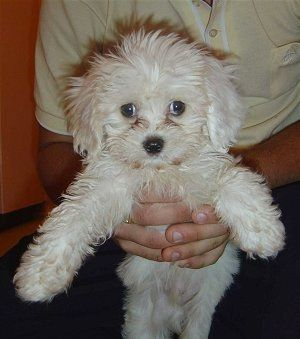Maximus The Cavachon Puppy Is Being Held Up By The Hands Of A