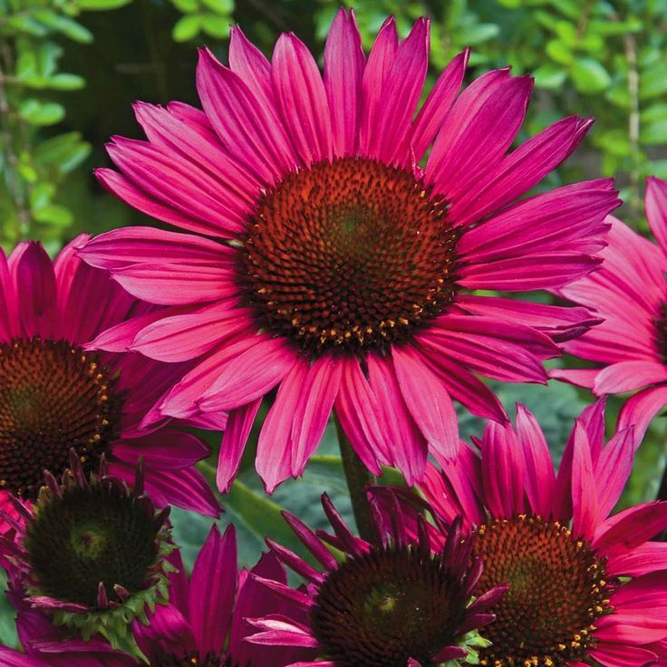 1dd6c26e8999f995797800265b0ea09fg 736736 definitely me buy echinacea vintage wine at j parkers dutch bulbs vibrant purple coneflower plant with daisy shaped blooms perfect for attracting bees mightylinksfo