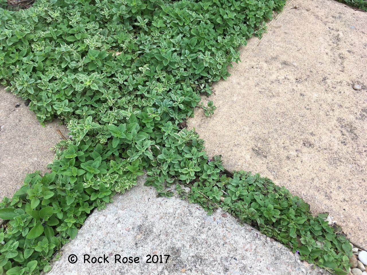 How to plant ground cover between pavers - Creeping Oregano Origanum Vulgare Humiliated Is The Perfect Plant To Grow Between Pavers