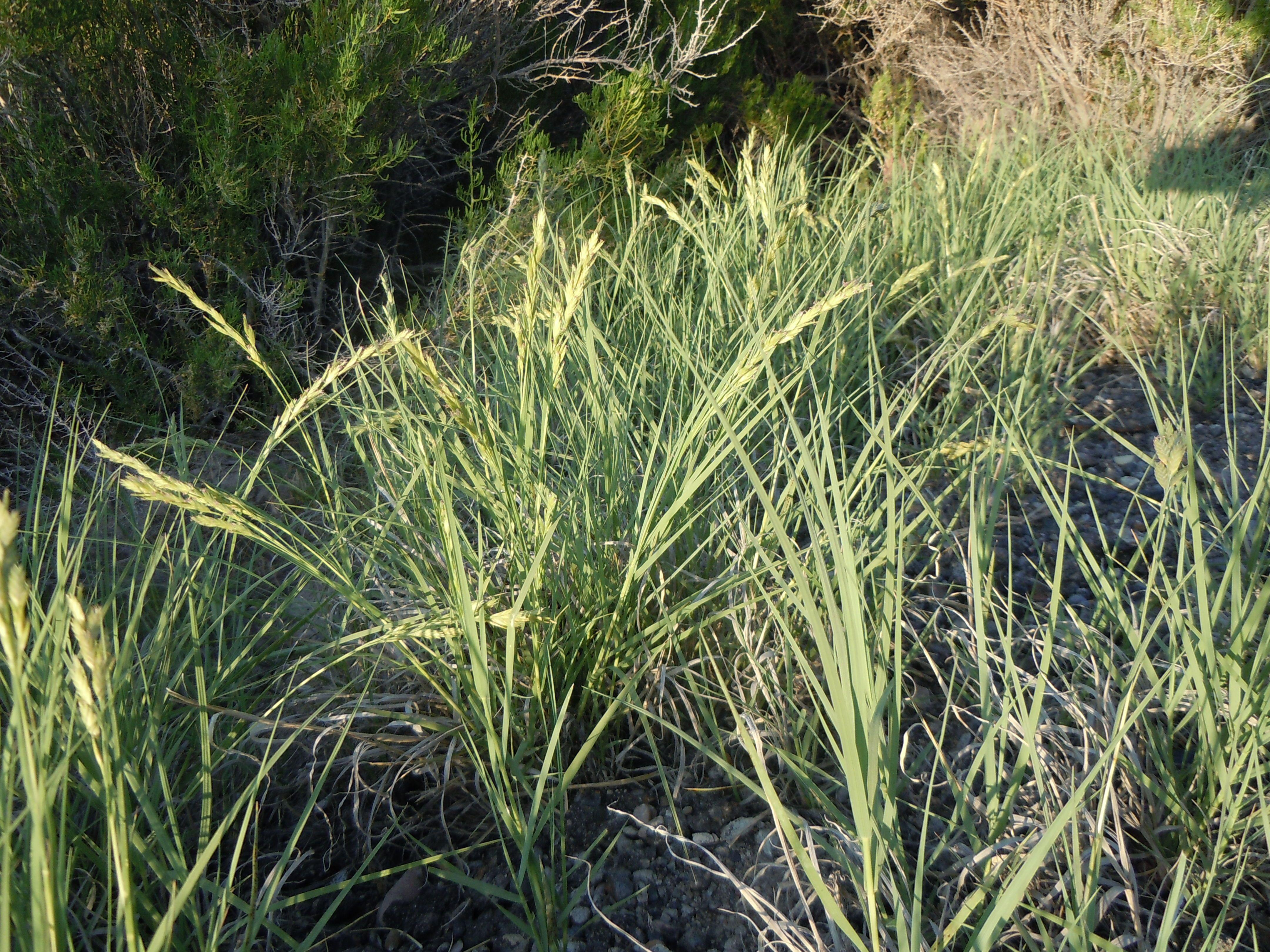 Desert Saltgrass (Distichlis Spicata)  Up To 1 Tall