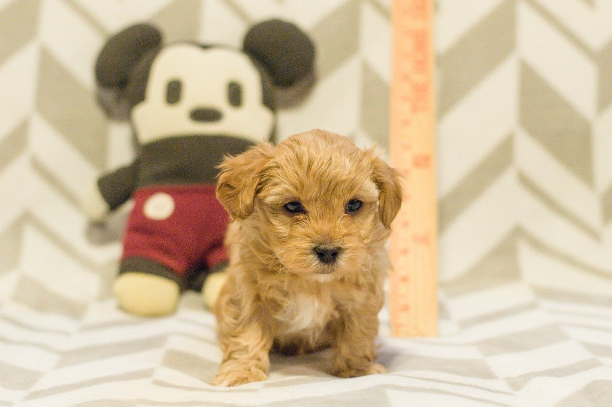 Puppies For Sale Yorkiepoo Yorkie Mix Puppies F Category In Dayton Ohio Dog Halloween Outfits Yorkie Mix Yorkie Poo