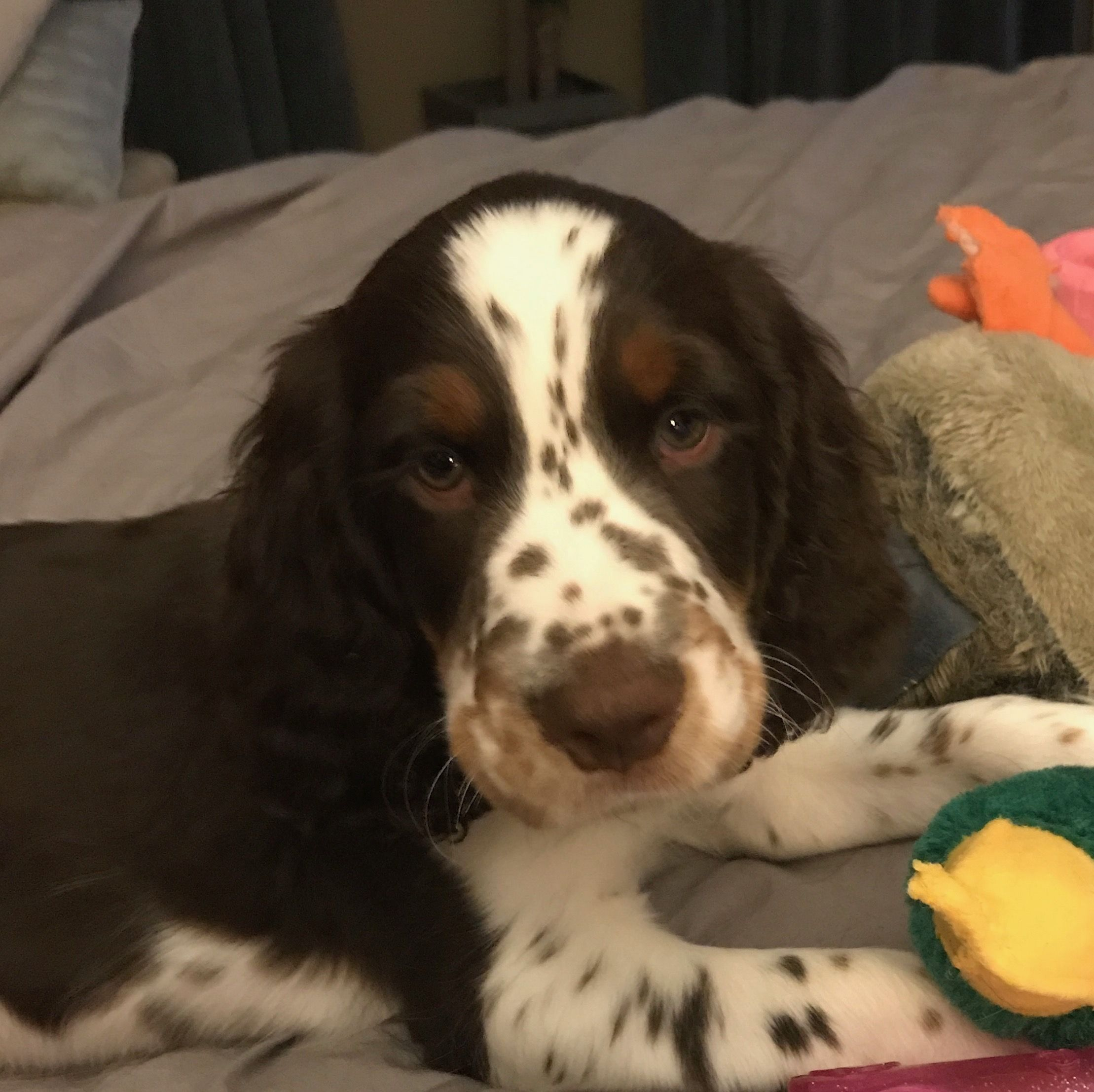 This is my Winchester. Springer spaniel puppies