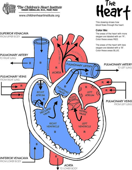 Heart diagram from The Children\'s Heart Institute (http ...