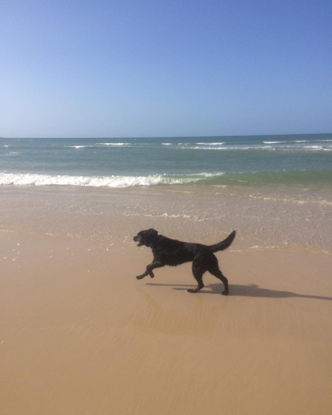 Bosco pup running free along the dog beach today