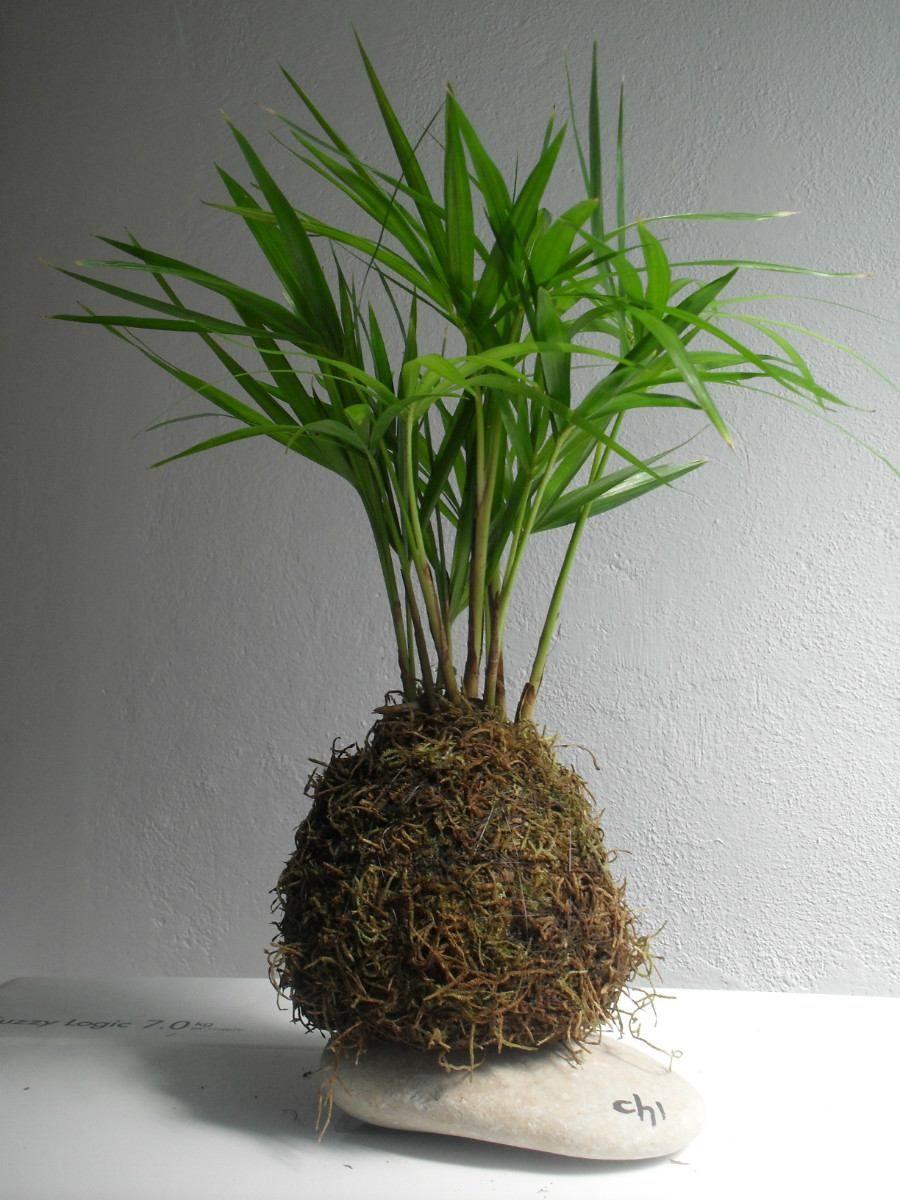 Plantas para kokedama pesquisa google kokedama pinterest plantas google e jardins - Plantas para bonsai ...