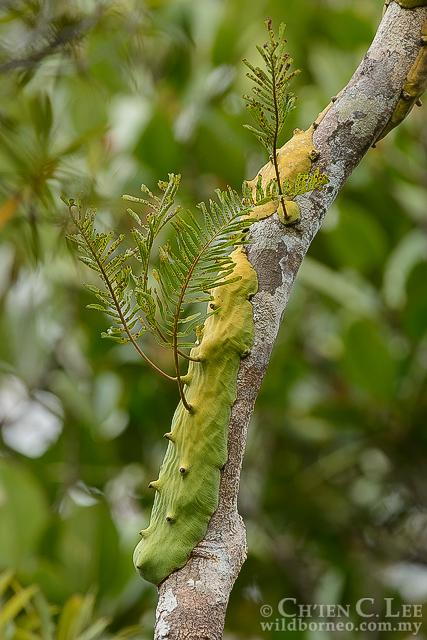 EXTREMELY RARE ornamental tropical fern Lecanopteris holttumii Anfern