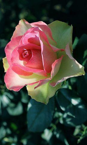 rosa que maravillosa.....                                                                                                                                                      Más