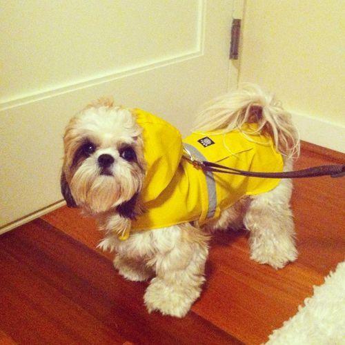 Rain Coat For Shih Tzu My Meeko Needs One Of These Shih Tzu