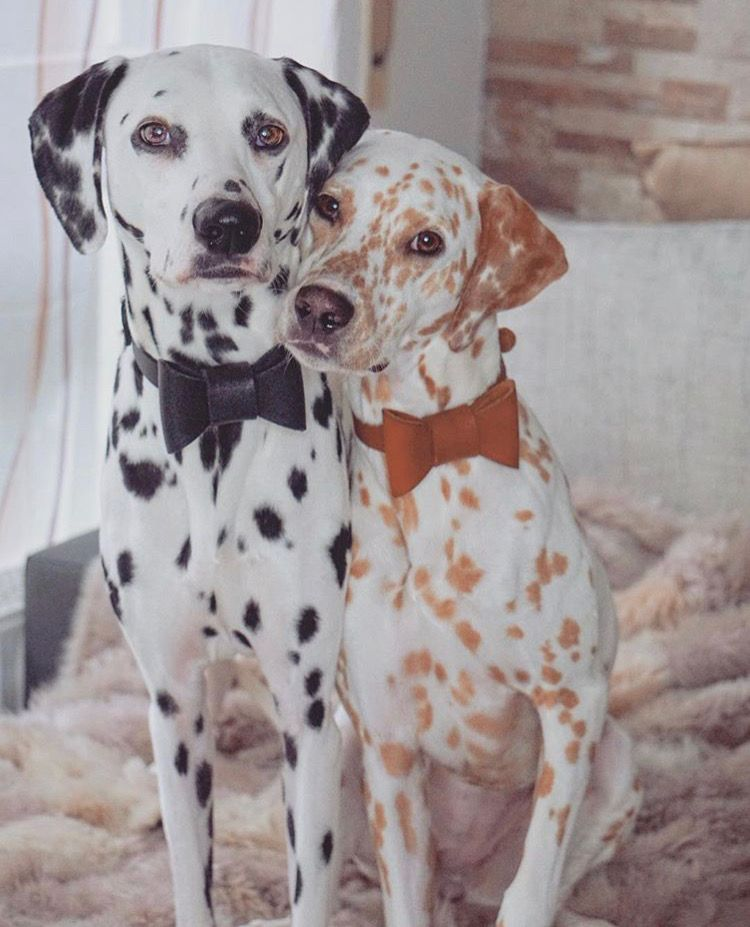 Khaleesi Django Dalmatian With Images Cute Animals Beautiful