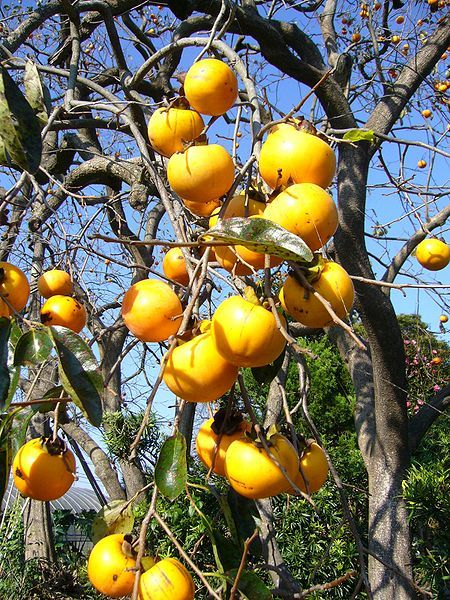 Tanenashi Persimmons on tree Persimmons, Fruit trees