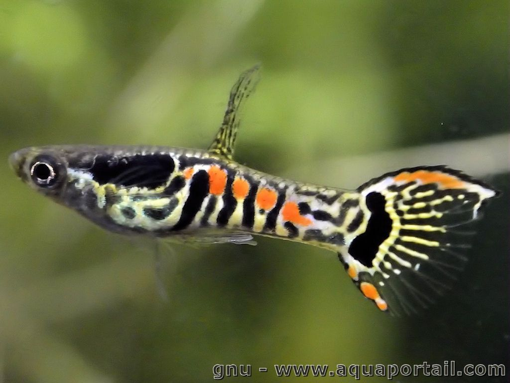 Poecilia wingei guppy aquariums and fish for Endler guppy