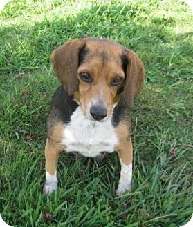 Pin By Annie Cawley On Adopt A Hound Beagle Beagle Mix