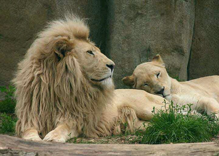 ♕ M Lion and Lioness