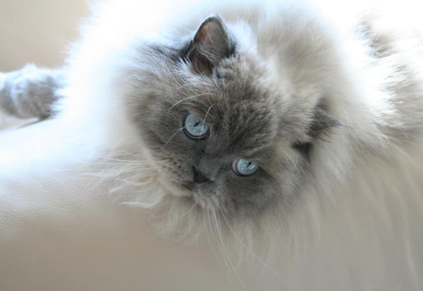 Himalayan Cat Pictures And Breed History Lovetoknow Himalayan Kitten Himalayan Cat Himalayan Persian Cats