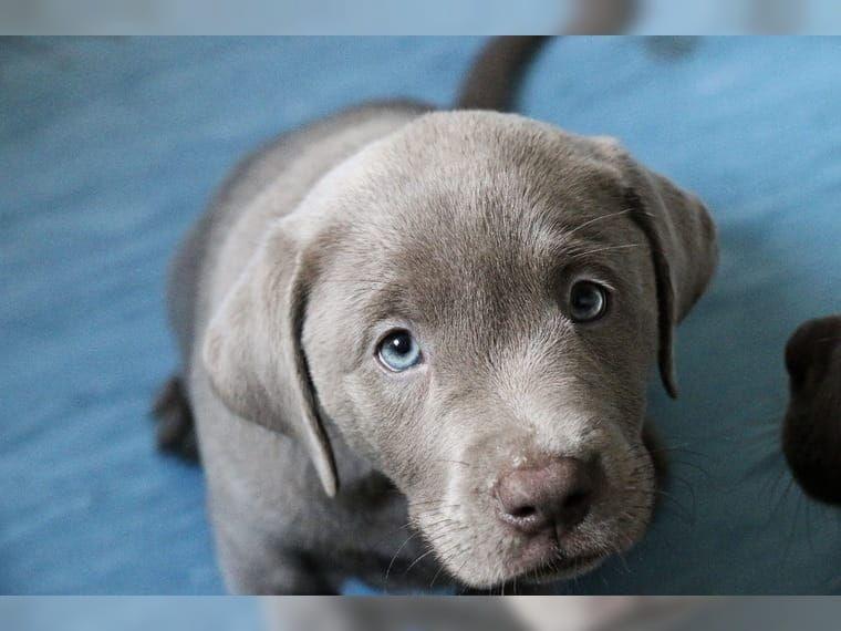 bildergebnis f r labrador silber puppies lab puppies. Black Bedroom Furniture Sets. Home Design Ideas