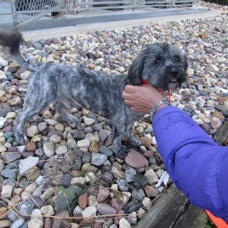 Meet Reggie, an adoptable Shih Tzu looking for a forever home. If you're looking for a new pet to adopt or want information on how to get involved with adoptable pets, Petfinder.com is a great resource.