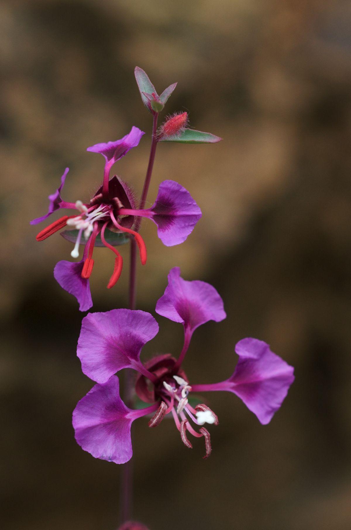 Clarkia Unguiculata Wikipedia Med Bilder Hage