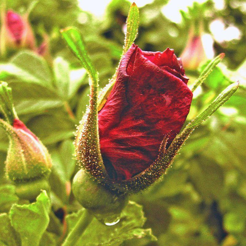 wild rose2 by MurkraD