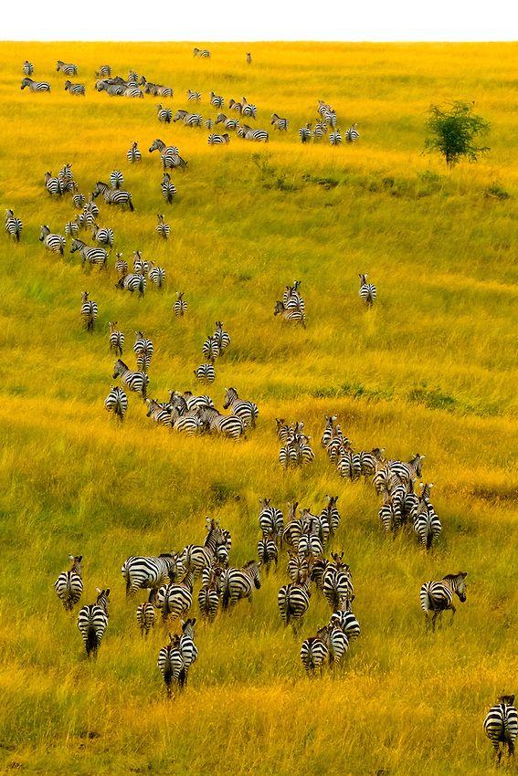 Cebras salvajes en la Reserva Nacional de Masai Mara, Kenia