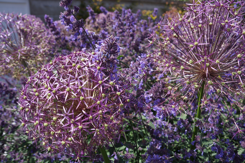 Nepeta 'Six Hills Giant', Allium christophii, Agata Byrne, award winning garden designer, landscape architect, coastal residential garden, Sandycove, Ireland, June 2014