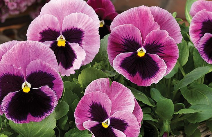Pink Pansy Pansies Flowers Pansies Beautiful Flowers