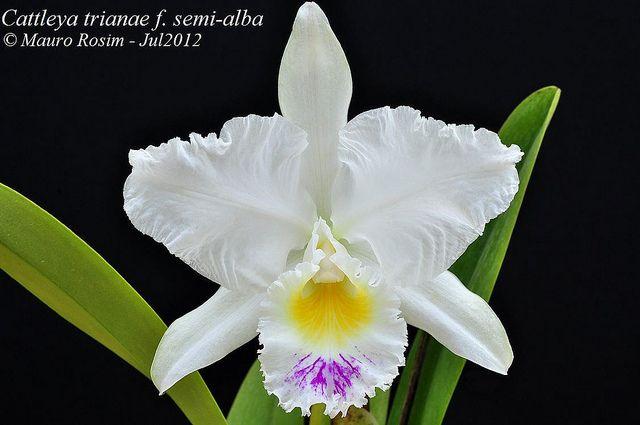 Cattleya Trianae F Semi Alba Cattleya Orchids Real