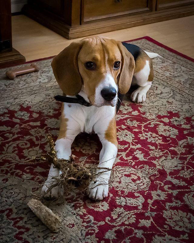 Our Pet Beagle Beagle Dog Beagle Breeds Beagle Puppy