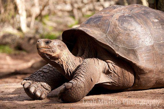 Turtle Tortoise Animal Photography by LeahMichelePhoto on Etsy