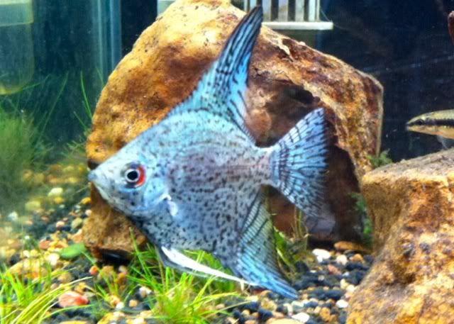 Blue Smokey Leopard Angelfish Angel Fish Fish Aquarium Fish